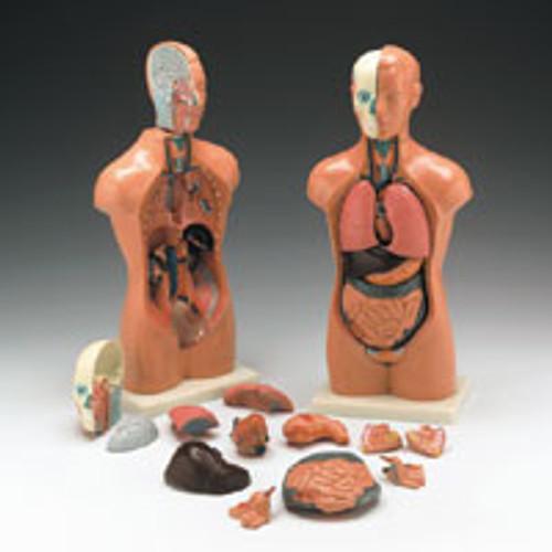 "Human Torso Model, Male/Female 16"" (42 cm)"