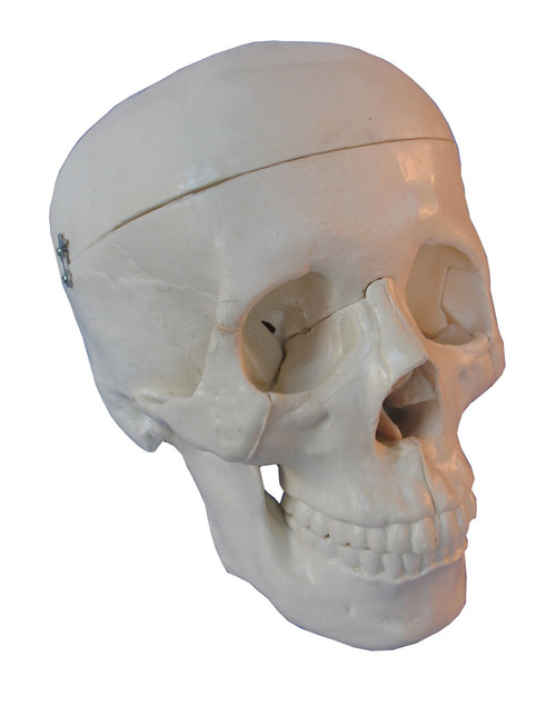 Life size model of human skull
