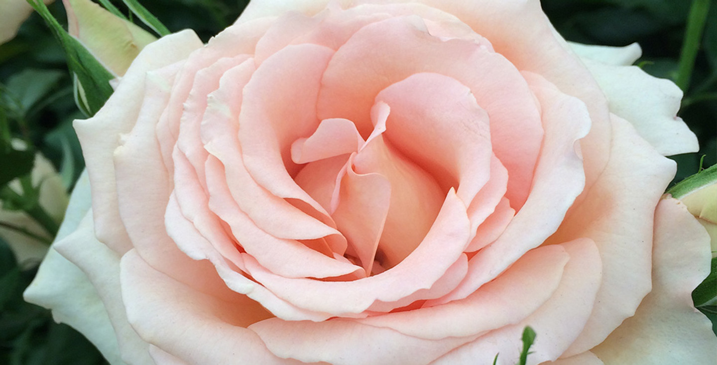 The Benefits of Rose Oil in Skincare