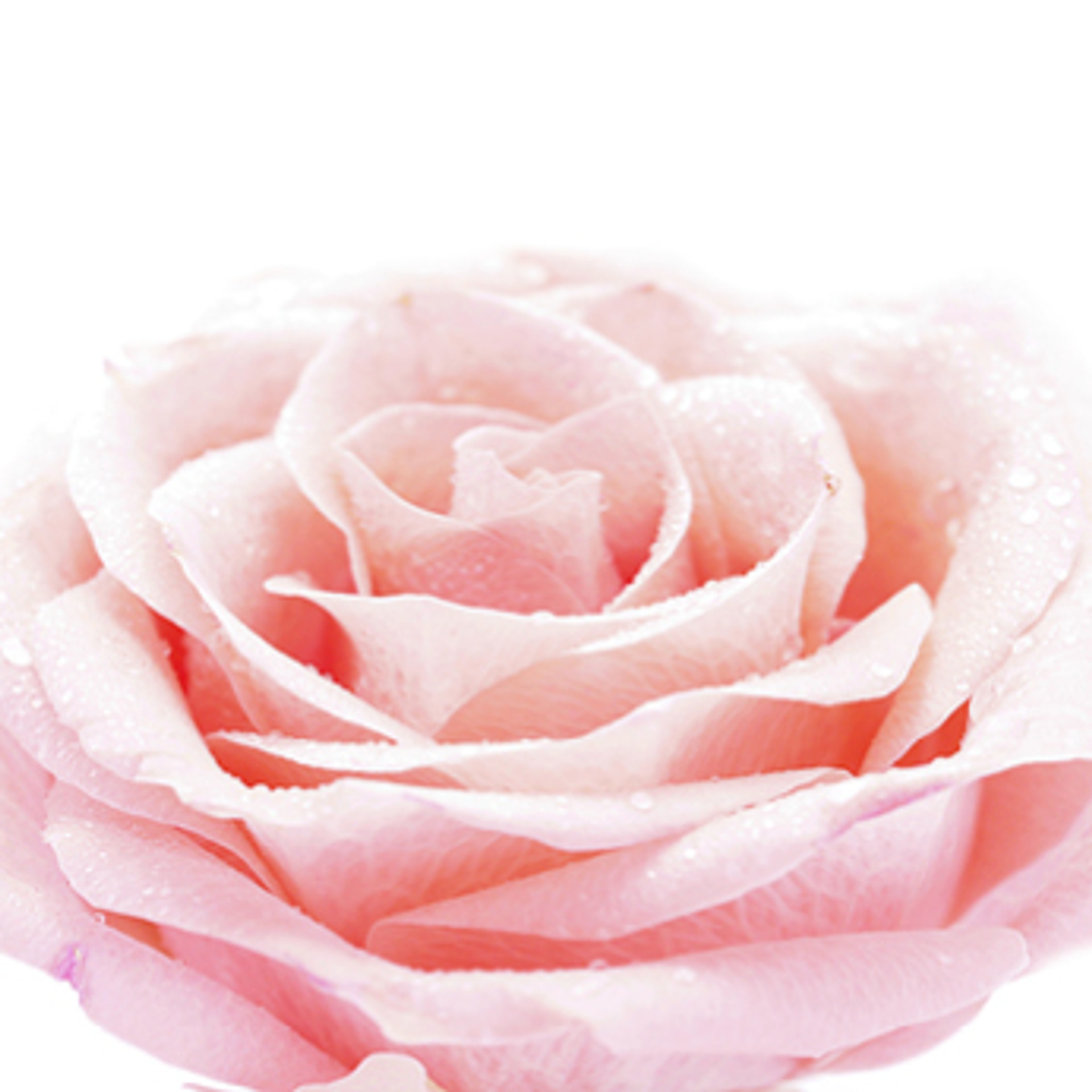 The benefits of rose essential oils