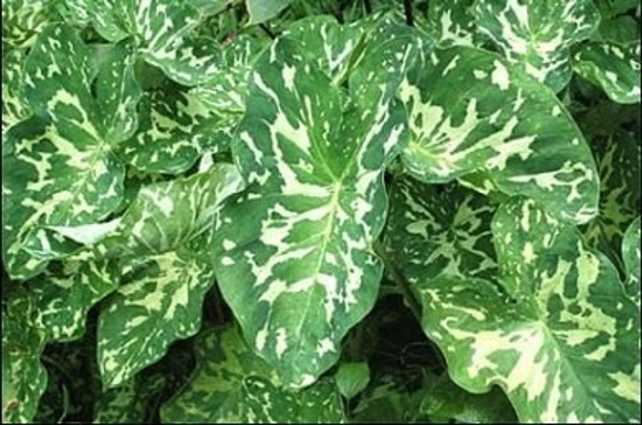Colocasia Hilo Beauty Variegated Elephant Ear Yellow And Green