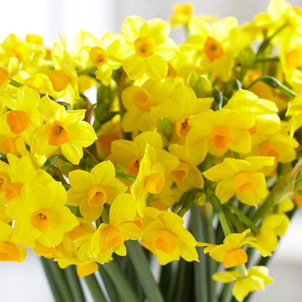 Rotteveel Live Flower Bulbs, Indoor Narcissus Grand Soleil d'Or Paperwhite
