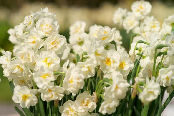 Indoor Narcissus Bridal Crown Paperwhite