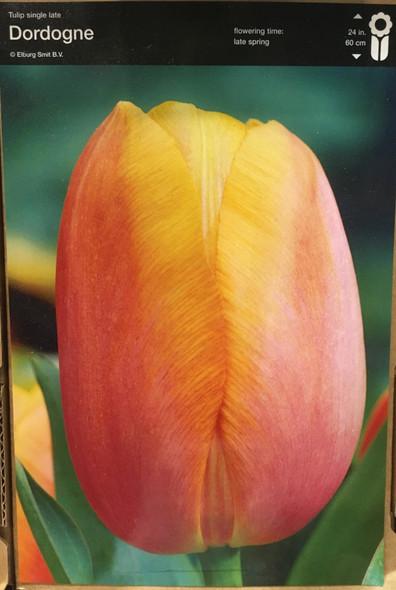 Tulip Dordogne Bulb