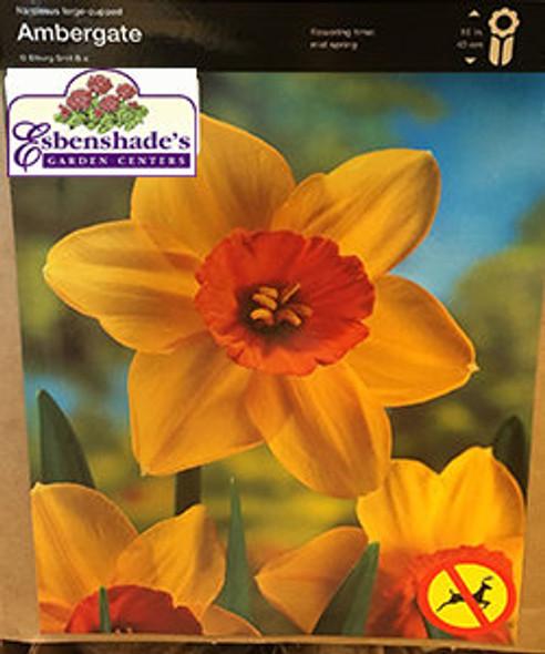 Narcissus Ambergate Bulb