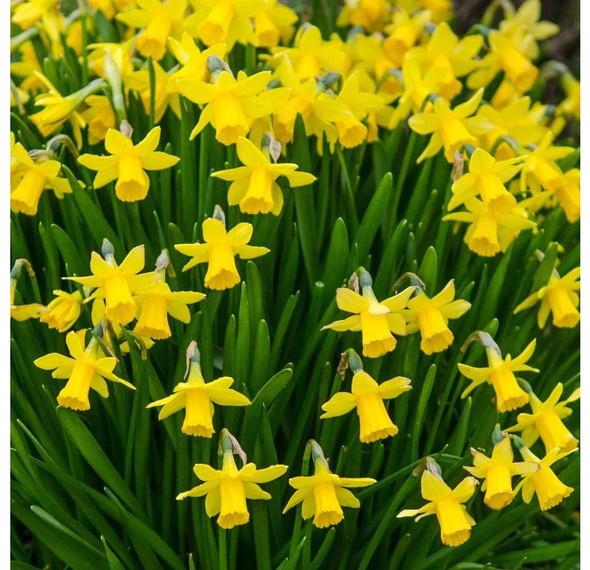 Rotteveel Live Flower Bulbs, Tete A Tete Daffodil Bulbs (Pack of 100)