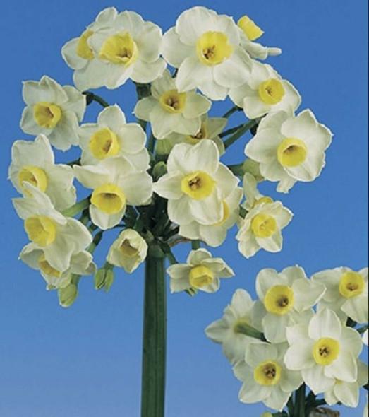 Rotteveel Live Flower Bulbs, Indoor Narcissus Omri Paperwhite (Pack of 1)