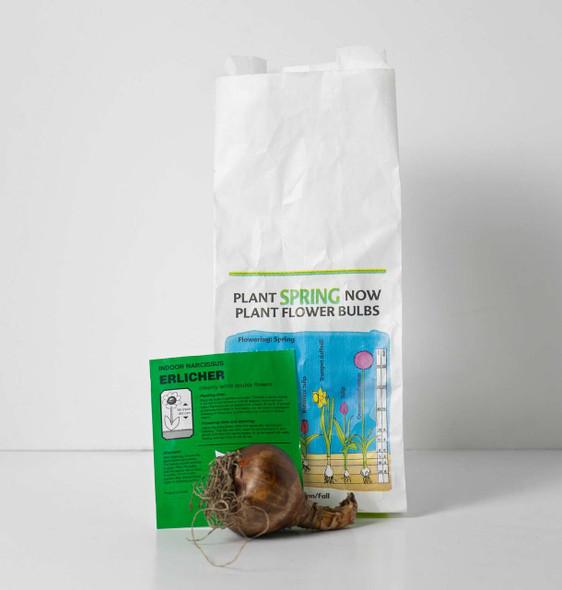 Rotteveel Live Flower Bulbs, Indoor Narcissus Erlicheer Paperwhite (1 Pack)