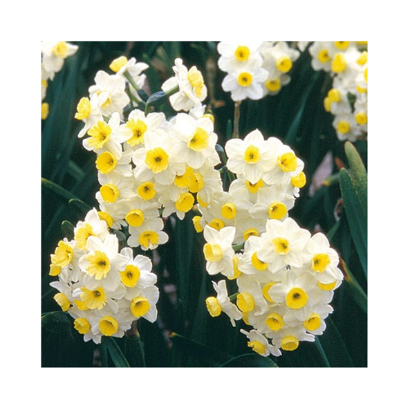 Rotteveel Live Flower Bulbs, Indoor Narcissus Avalanche (Pack of 1)