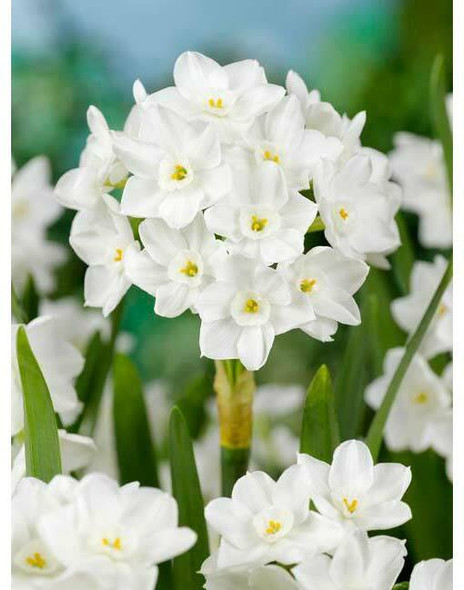 Rotteveel Live Flower Bulbs, Paperwhite Inbal Narcissus for Holiday Forcing (Pack of 1)