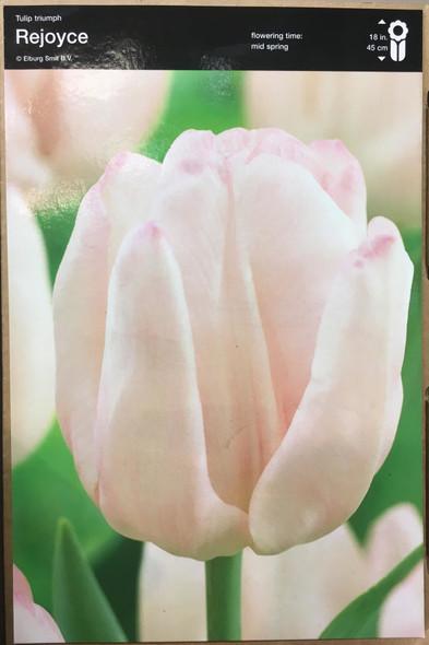 Tulip Rejoyce Bulb