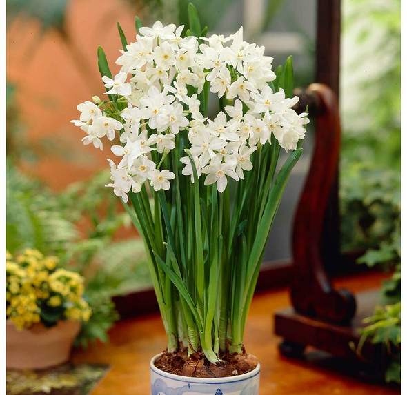 Garden Elements Ziva Indoor Forcing Paperwhite Bulbs, White, 13-15 cm (Pack of 10)