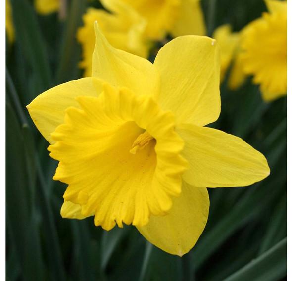 Garden Elements Dutch Master Daffodil Live Flower Bulbs, Yellow (Pack of 50)