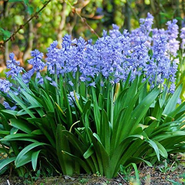 Rotteveel Live Flower Bulbs, Campanulata Spanish Bluebells