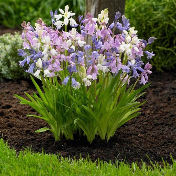 P.J. Rotteveel Mixed Campanulata Hyacinth Mixed Color Bulb