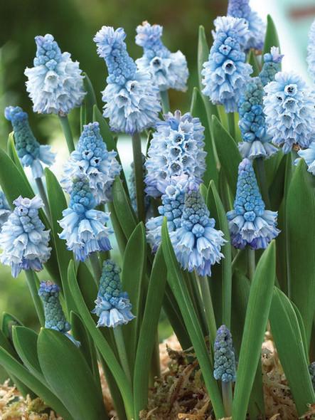 PJ Rotteveel Muscari Azureum Live Flower Bulb, Pack of 1