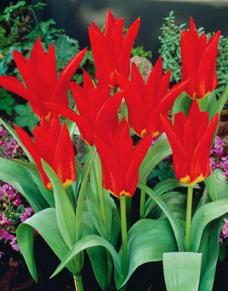 Rotteveel Live Flower Bulbs, Tulip Red Emperor Bulb (Pack of 1)