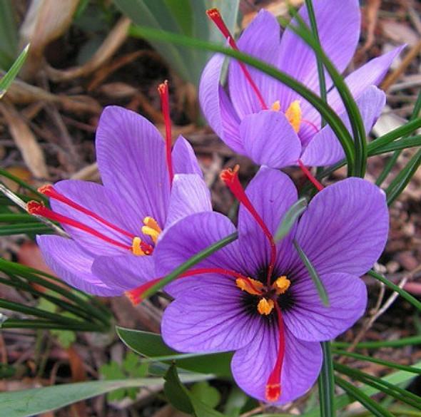 Rotteveel Live Flower Bulbs, Purple Saffron Crocus (Pack of 1)