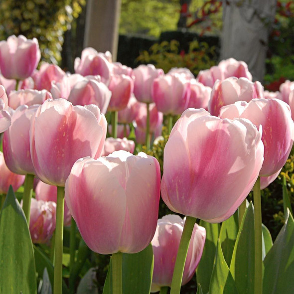 PJ Rotteveel Live Flower Bulb Tulip Ollioules Bulb (Pack of 1)