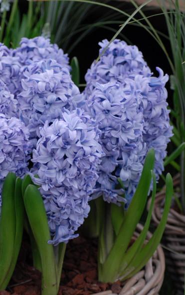 Rotteveel Live Flower, Blue Eyes Hyacinth, Pack of 5