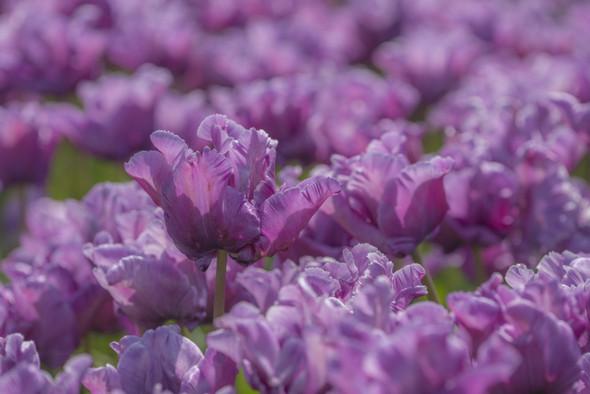 Garden Elements Live Flower Bulbs, Blue Parrot Tulip, Pack of 5