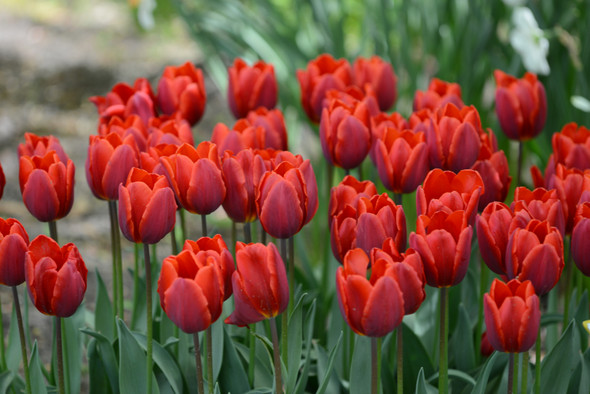 Garden Elements Live Flower Bulbs, Tulip Couleur Cardinal, Pack of 5