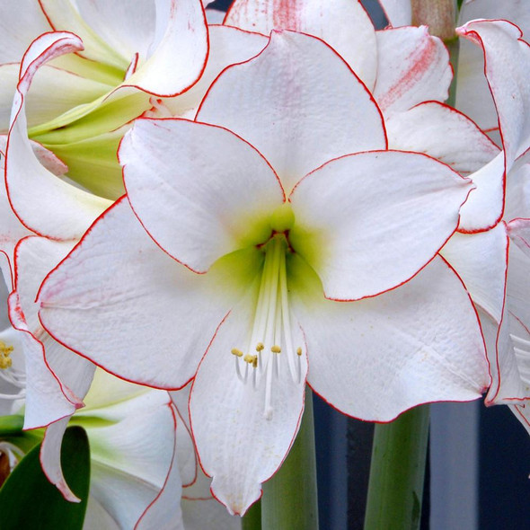 Garden Elements Live Flower Bulbs, Picotee Amaryllis, Pack of 5