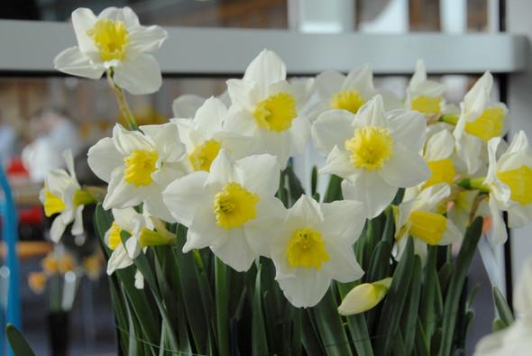 Garden Elements Live Flower Bulbs, Narcissus Central Station