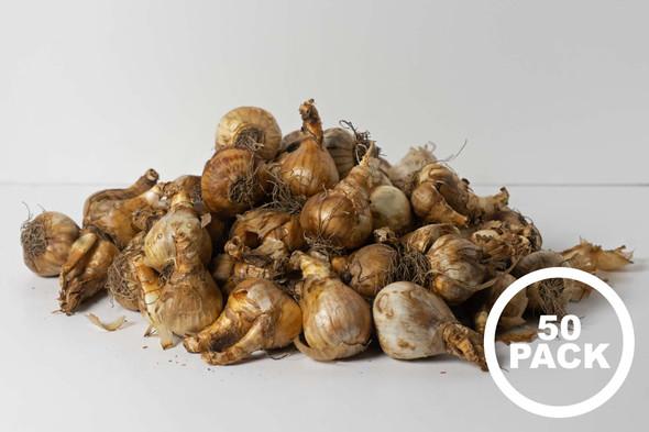 Rotteveel Live Flower Bulbs, Narcissus Mixed Bulbs (50 Pack)