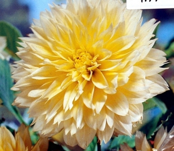 Dahlia Canary Fubuki Bulbs x2