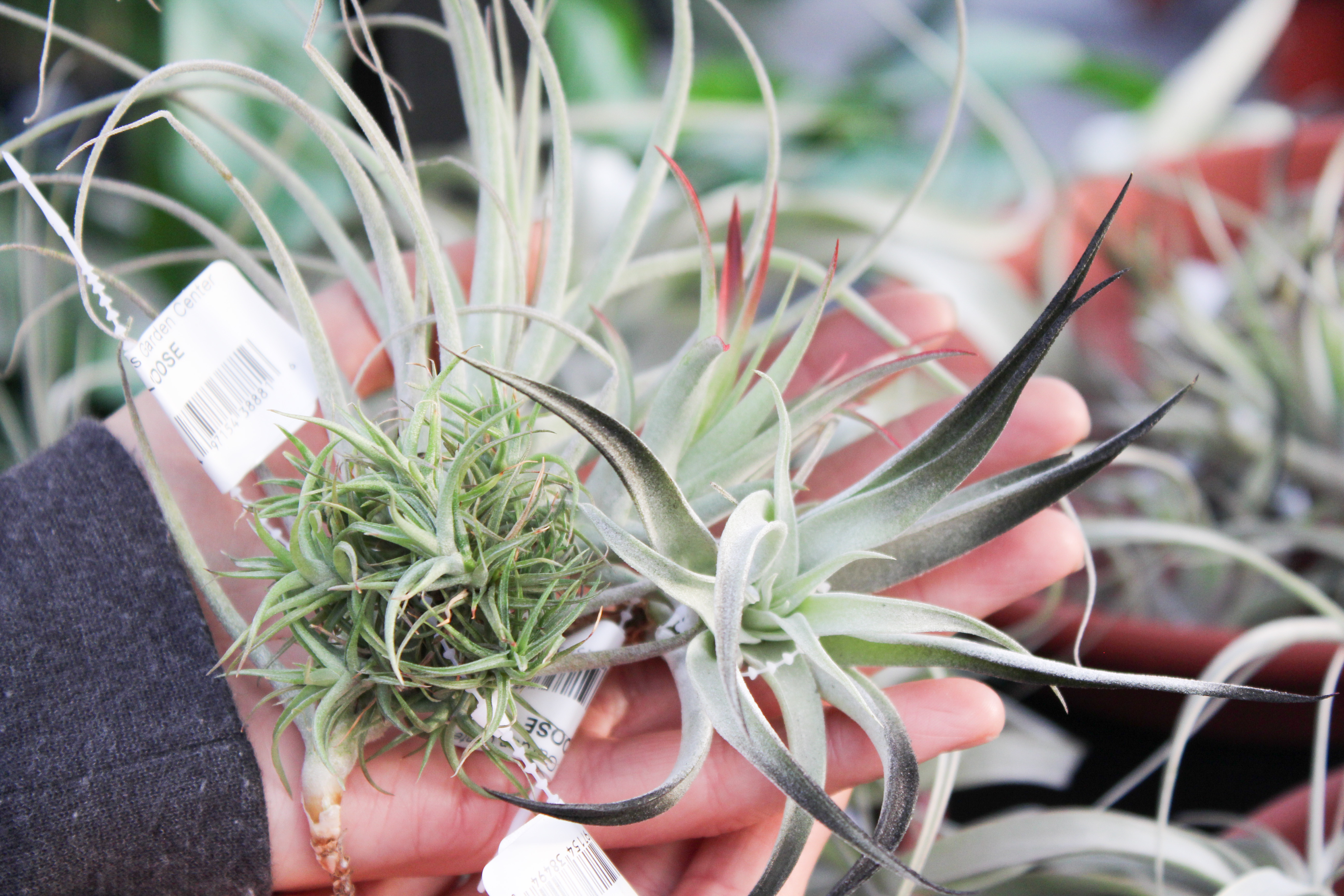 airplants-2.jpeg