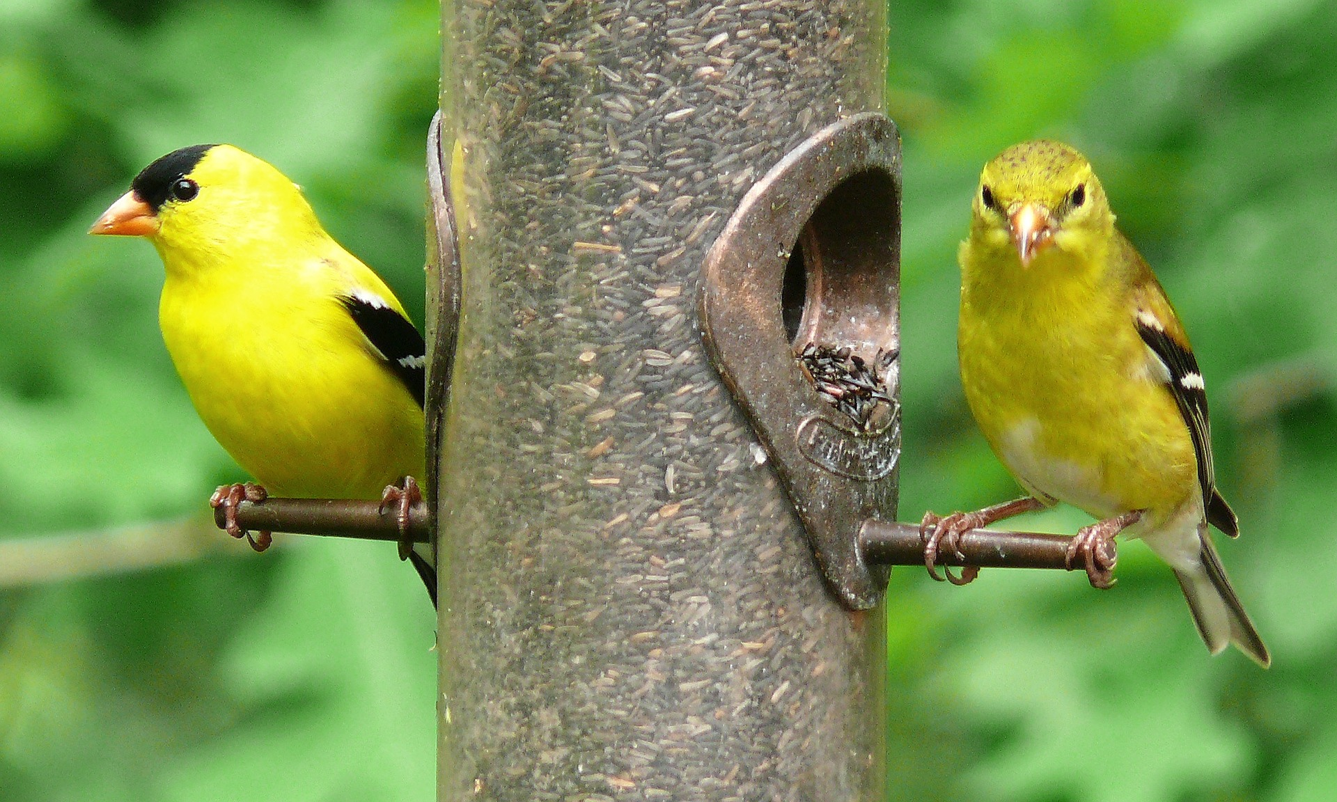 american-goldfinches-613469-1920.jpg