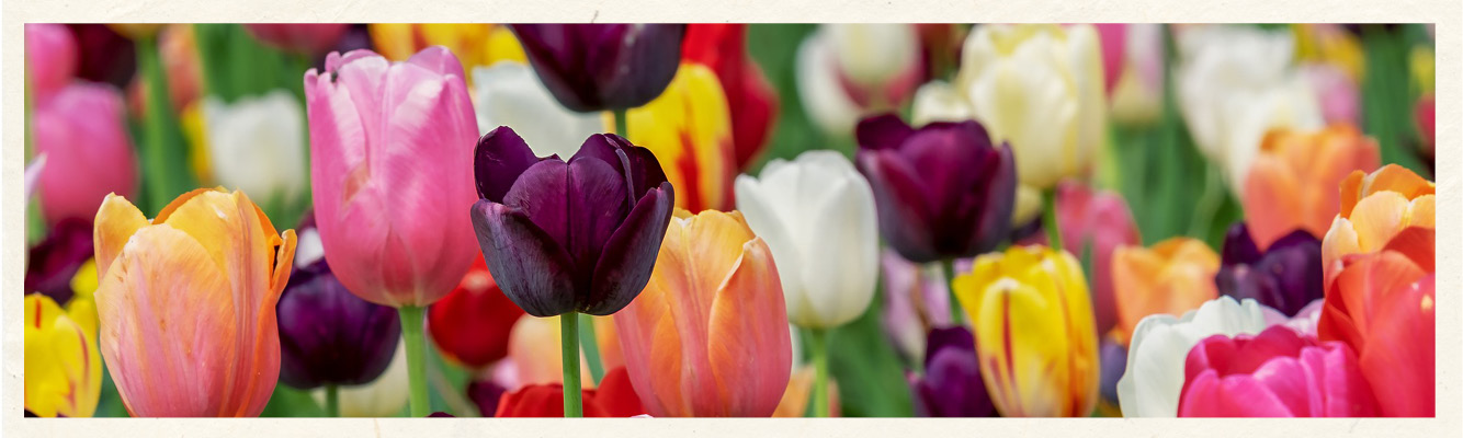 bulb-carousel-tulip-long.jpg