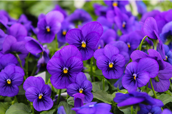 cold-tolerant-annuals.jpg