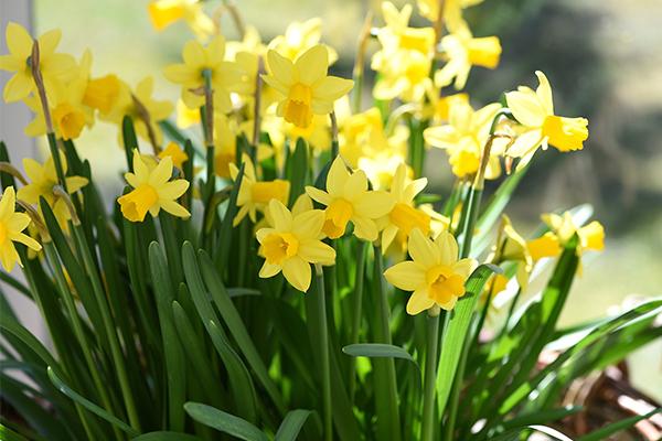 daffodils-article.jpg