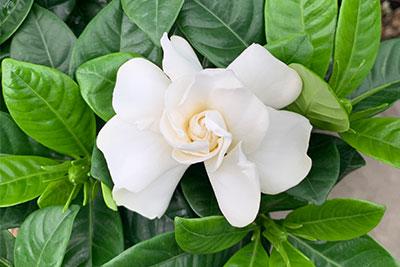 gardenia-web.jpg