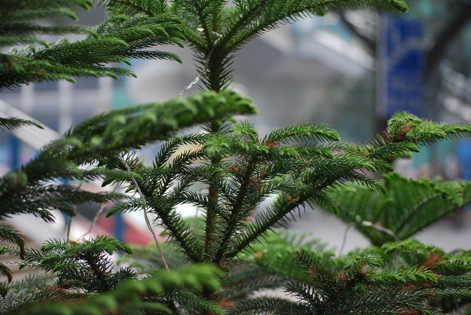 norfolk-pine.jpg