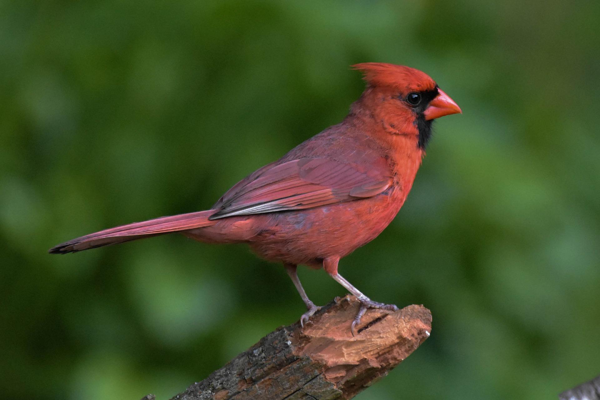 northern-cardinal.jpg