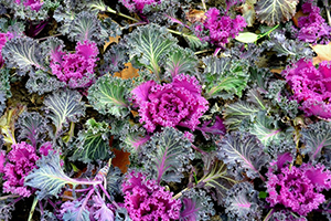 ornamental-cabbage-and-kale-purple.jpg