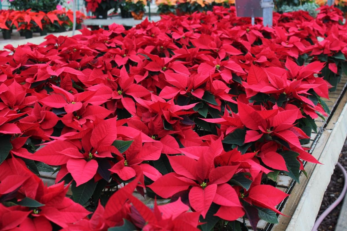 poinsettias-in-vary.jpg
