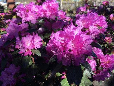 rhododendron-pjm-elite-.jpg