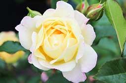 Rose Care Year Round