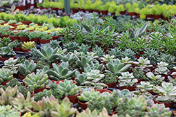 succulents-assorted-in-store.jpg