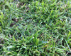Tall Fescue, Shorty Blend