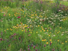 Showy Plains and Juniper Hills  Wildflower Mixture