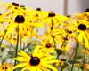 Showy Plains and Juniper Hills  Wildflower Mixture