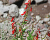 Llano Estacado Wildflower Seed Mixture