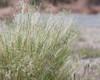 Indian Rice Grass, Paloma