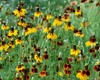 Mexican Hat Coneflower