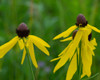 Yellow Prairie Coneflower